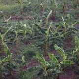 Agricultura reporta pérdidas de $5.5 millones en cultivos por la tormenta Laura