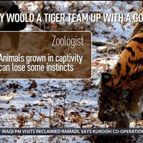 Se acabó la extraña amistad entre cabra y tigre