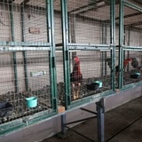 Roban 10 valiosos gallos en Guayanilla