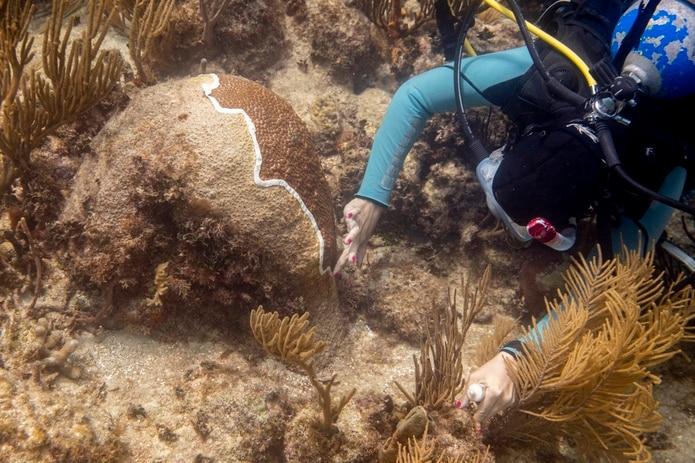 Biólogos del Departamento de Recursos Naturales aplican un tratamiento con amoxicilina para tratar una enfermedad de Perdida del Tejido del Coral Duro que está afectando a los corales de Puerto Rico.