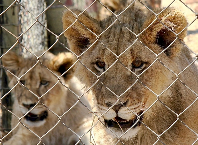 Una pareja de leones jóvenes están cautivos en una instalación para turistas en Sudáfrica.