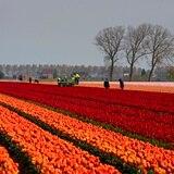 Coloridos tulipanes florecen alrededor del mundo