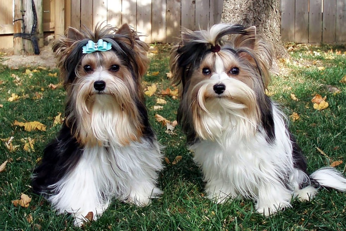 El biewer fue originalmente desarrollado por una pareja alemana, la cual se dedica a la crianza de yorkie, después de que uno de sus perros tuviera un cachorro con inusuales marcas blancas en 1984.
