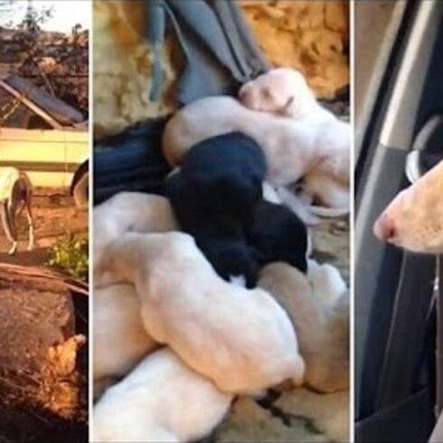 Perrita rescata a sus crías valerosamente