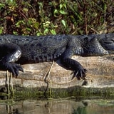 Familia de Florida encuentra caimán de más de ocho pies en su piscina