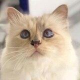 Conoce a Choupette, la gata estrella de Karl Lagerfeld