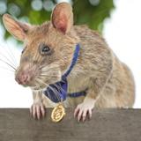 Conoce a Magawa, una valiente rata que ganó una medalla de oro