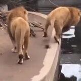 Viral cómico vídeo de león cayendo al agua
