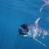 Tiburón ataca de muerte a un surfista en Australia