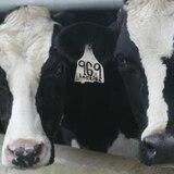 Decenas de vacas mueren electrocutadas en Hatillo