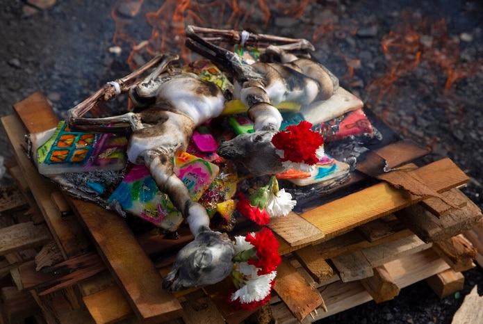 Cuerpos de llamas bebés disecadas para ser quemados en el ritual.
