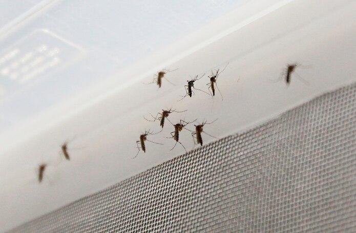 El permiso experimental de la EPA establece que en Puerto Rico se podrían liberar hasta 156 millones de mosquitos con Wolbachia, pero de forma paulatina.