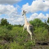 La última jirafa blanca del mundo estará controlada por GPS