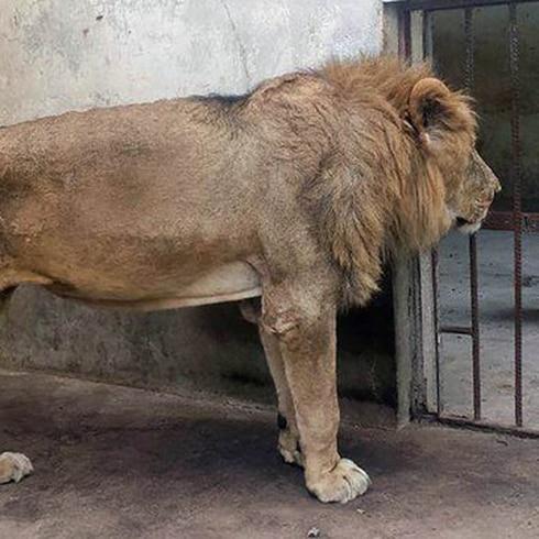 Desgarrador llanto de león que muere de hambre