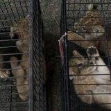Arrestan a dos presuntos traficantes de animales en Indonesia