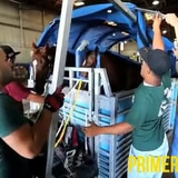 Transportan equinos de pura sangre en primera clase