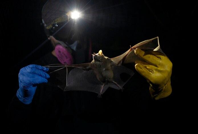Un investigador del centro estatal brasileño Instituto Fiocruz sostiene un murciélago capturado en el Bosque Atlántico, en el parque estatal de Pedra Branca, cerca de Río de Janeiro, Brasil.