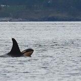 Estados Unidos aprueba reducir pesca de salmón para ayudar a orcas