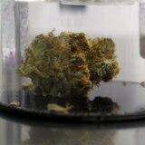 Celebran vista sobre proyecto de marihuana medicinal