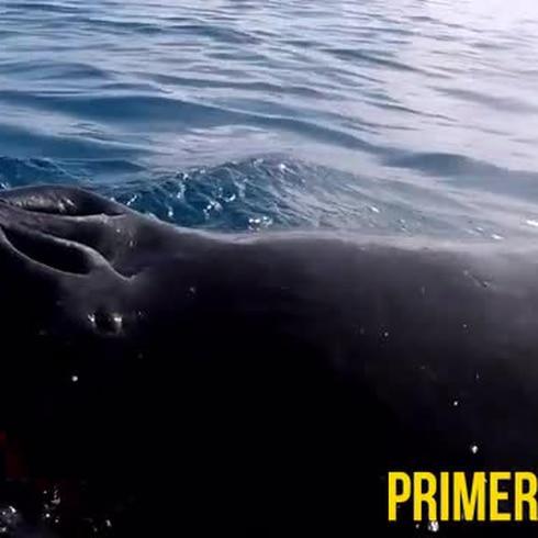 Curiosa ballena saluda a surfista