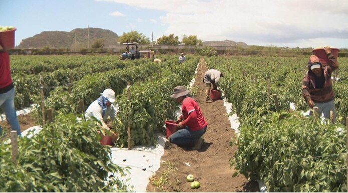 Diecisiete obreros del estado de Chiapas laboran en la cosecha de la Finca González.