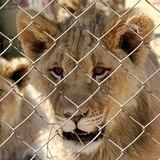 Sudáfrica pondría fin a la industria de los leones cautivos