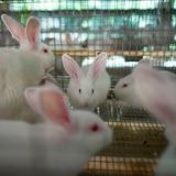 Inaugura la primera procesadora de carne de conejos en Puerto Rico