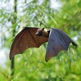 Descubren que el SARS-CoV-2 ha circulado entre murciélagos desde hace 40 y 70 años