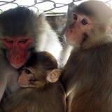 Capturan un mono que acechaba a los agricultores en Rincón