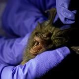 Científicos de Tailandia rastrean origen del coronavirus en murciélagos