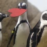Pingüinos celebran el Día de San Valentín en San Francisco