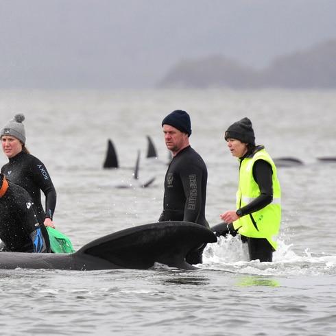Luchan para salvar a cientos de ballenas varadas