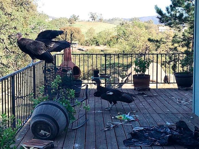 Cóndores en la barandilla en la casa de Cinda Mickols, en Tehachapi, California.