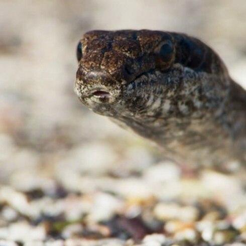 Persecución de película de serpientes a una iguana