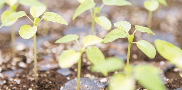 Tardará un mínimo de un año para que se pueda recoger algún fruto en el caso de los plátanos y 4 años para el café. (Archivo)