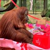 Sandra la orangutana celebra su cumpleaños en Florida