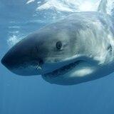 Joven muere tras ser atacado por tiburón en Australia