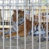 Tres tristes tigres: de Guatemala a una reserva en Florida