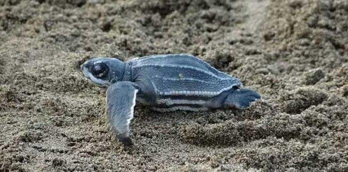 En esta temporada de anidaje, se han contabilizado unos 1,720 nidos de la tortuga más grande del mundo. (Archivo/ EFE)