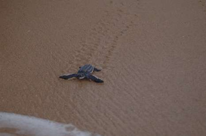 """Las playas del Corredor del Noreste son de las más importantes en la jurisdicción de los Estados Unidos y en el Caribe para el anidaje del tinglar, especie de tortuga marina en peligro de extinción.&nbsp;<font color=""""yellow"""">(Archivo)</font>"""