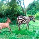 Nace en Kenia un 'zonkey'
