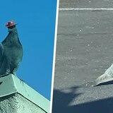 Las palomas en Las Vegas están llevando sombreros de vaquero y nadie sabe por qué