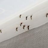 Contemplan liberar mosquitos infectados con bacteria para control de Aedes aegypti