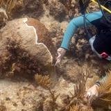 Buscan la forma de frenar la pérdida de tejido del coral duro en el archipiélago boricua