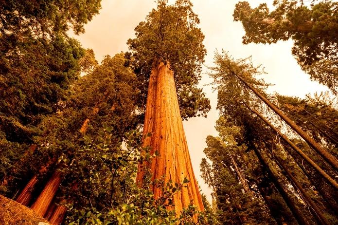 Un bosque de secuoyas en Lost Grove, en la autopista de los Generales, a 15 millas del incendio KNP Complex, en el Parque Nacional de las Secuoyas, en California.
