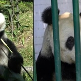 Conoce a los únicos pandas que no son de China