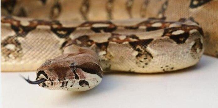 """Según el primer ejecutivo municipal, la proliferación de estos reptiles se ha registrado en los barrios Casey, Corcovada, Miraflores, Cerro Gordo, Espino y Ajíes"""", entre otros. (Shutterstock)"""