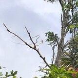 Amenazado el Falcón de Sierra con poda de árboles en Maricao