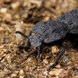Estudian la armadura del escarabajo para fabricar aviones