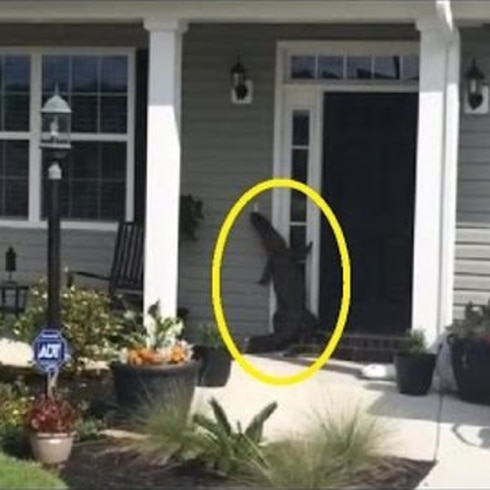 "Caimán ""toca"" el timbre de puerta en Carolina del Norte"